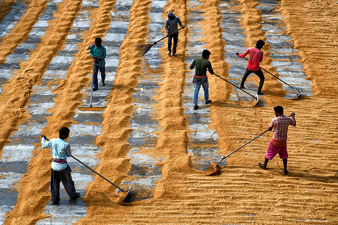 SPREDING & SWEEPING THE  GRAIN BY RICE MILL WORKERS